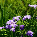 写真: 法金剛院の花菖蒲