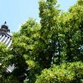 写真: 菩提樹(ボダイジュ)