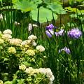 写真: 花菖蒲と紫陽花