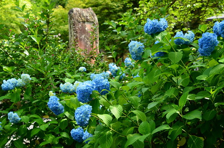 百花苑の紫陽花
