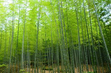 天龍寺から見る嵯峨野の竹林