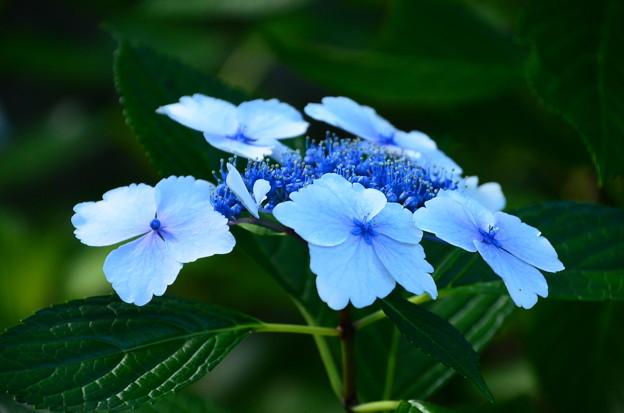 ブルー紫陽花