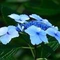 写真: ブルー紫陽花