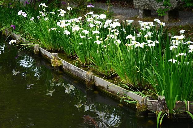 池に映る花菖蒲