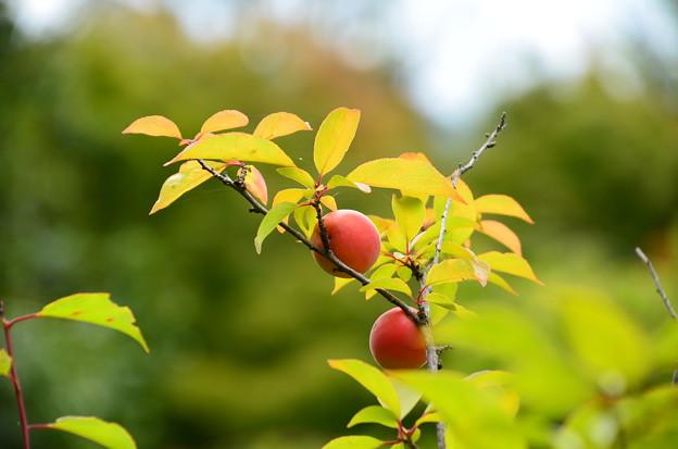 梅の実も熟して~