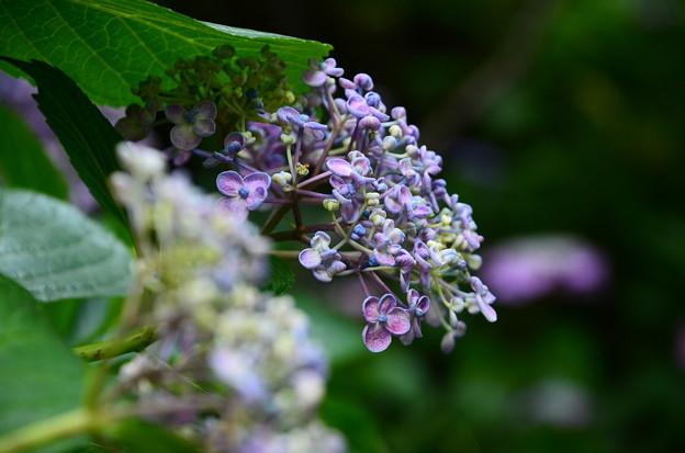 渦紫陽花(ウズアジサイ)