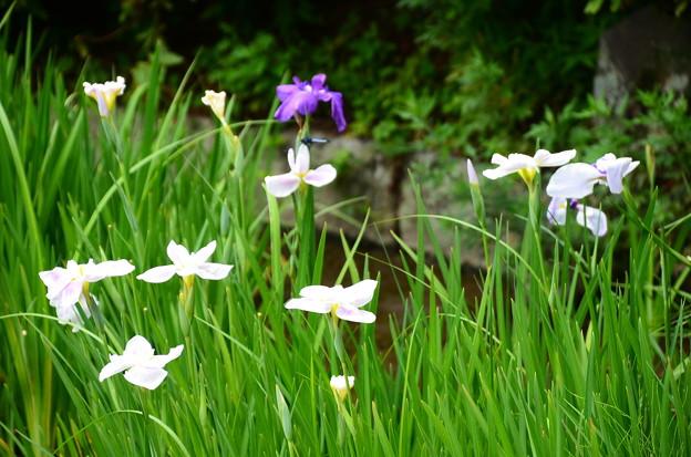 勾玉池の花菖蒲