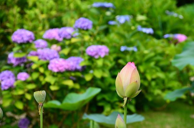 紫陽花の前の蓮の蕾