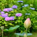 写真: 紫陽花の前の蓮の蕾