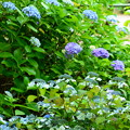 写真: 爽やか紫陽花