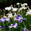 写真: 最終盤の花菖蒲園