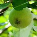 Photos: ニュートンの林檎