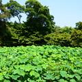 Photos: 中央蓮池