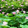 Photos: 紫陽花も蓮も見頃~
