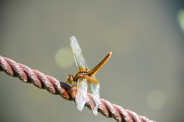 黄蜻蛉(キトンボ)?