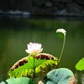 写真: 相国寺の蓮