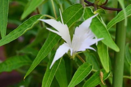 黄抱打込柳葉白撫子采咲