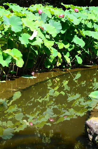 水面に映る蓮