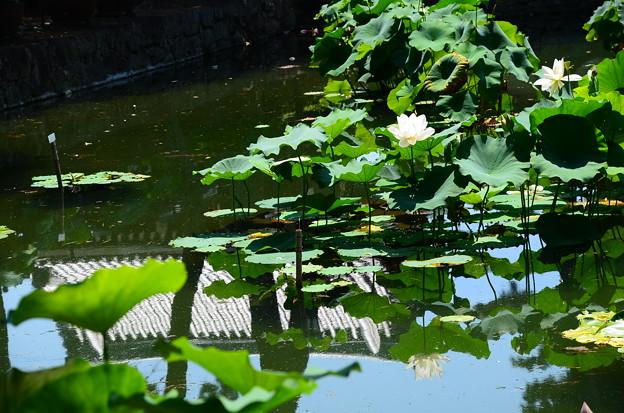 真夏の蓮池