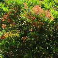 写真: 珊瑚樹(サンゴジュ)