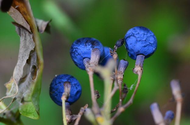 類葉牡丹(ルイヨウボタン)