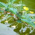 写真: ギンヤンマの産卵