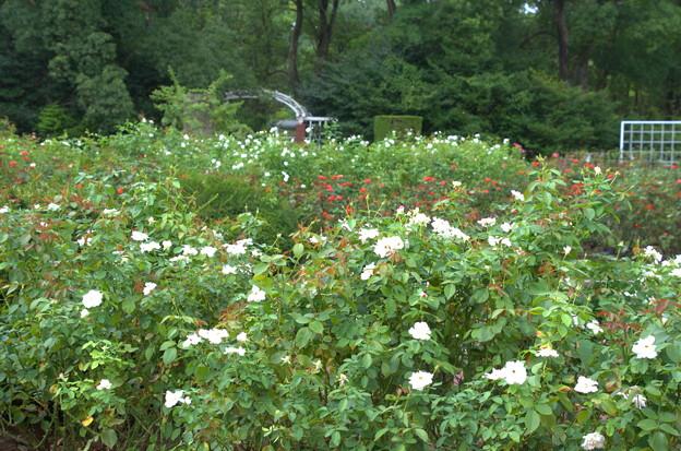 真夏の薔薇園
