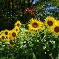 ミニ向日葵