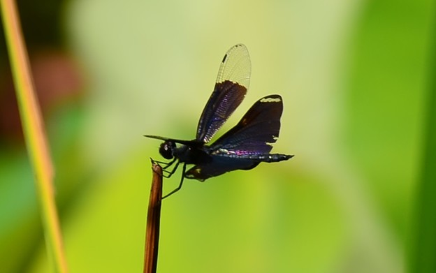 蝶蜻蛉(チョウトンボ)