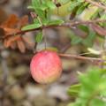 大実蔓苔桃(オオミノツルコケモモ)