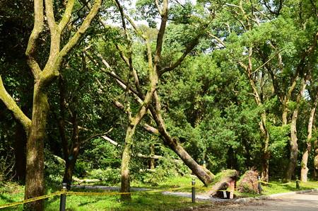 楠並木の楠