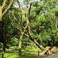 写真: 楠並木の楠