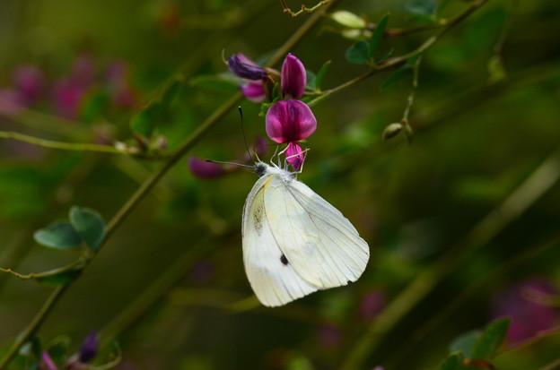 萩に紋白蝶(モンシロチョウ)