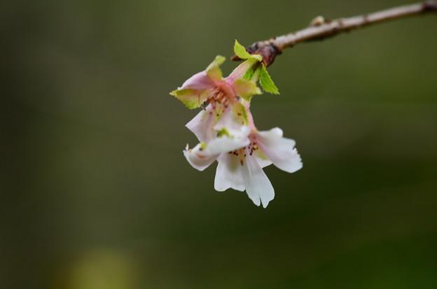 咲き始めた十月桜(ジュウガツザクラ)