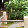 門前の芙蓉と彼岸花