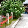 Photos: 酔芙蓉と彼岸花の妙蓮寺