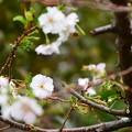 Photos: 御会式桜(オエシキザクラ)
