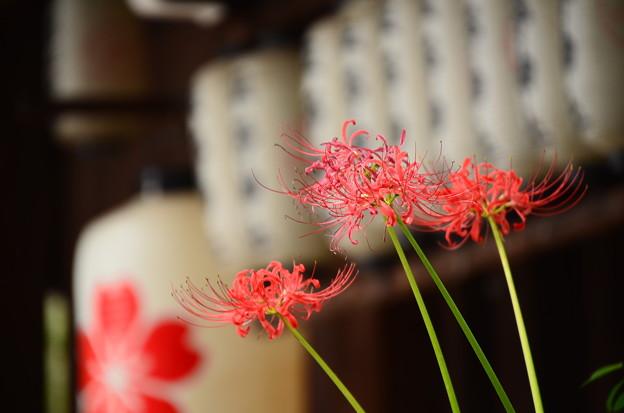 桜紋の提灯と彼岸花