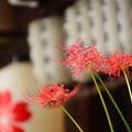 Photos: 桜紋の提灯と彼岸花