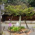 写真: 平野妹背の枝も折れていました、、、