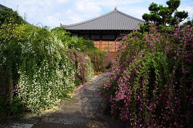 満開の萩の寺