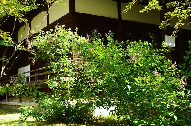 石薬師堂前の萩