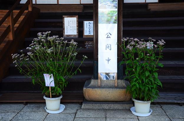 本堂前の藤袴(フジバカマ)