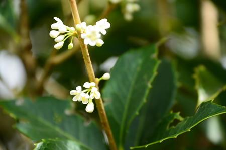 柊木犀(ヒイラギモクセイ)