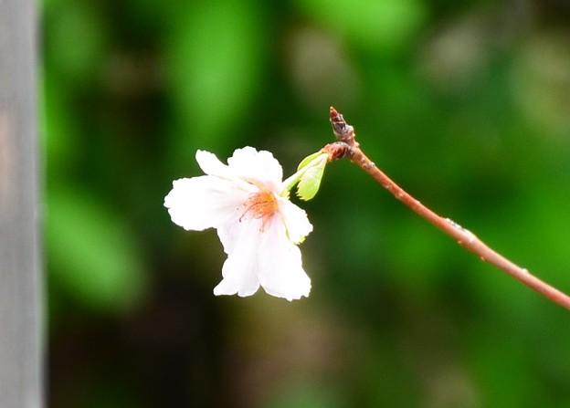 十月桜(ジュウガツザクラ)かな~?