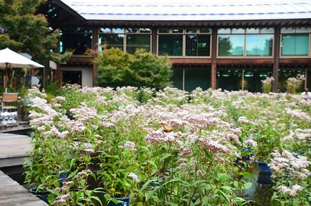 朱雀の庭の藤袴展