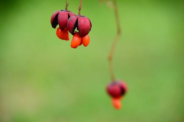 大実吊り花(オオミツリバナ)