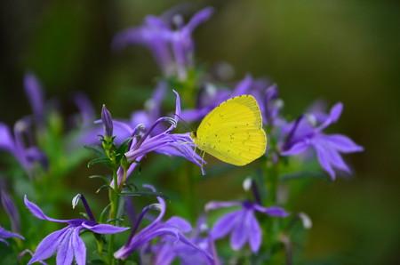 沢桔梗に止まる黄蝶(キチョウ)