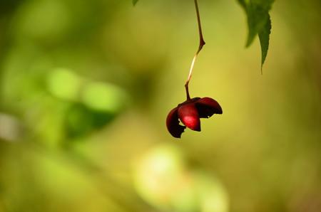 吊り花(ツリバナ)