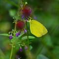 写真: クロバナヒキオコシに止まる黄蝶(キチョウ)